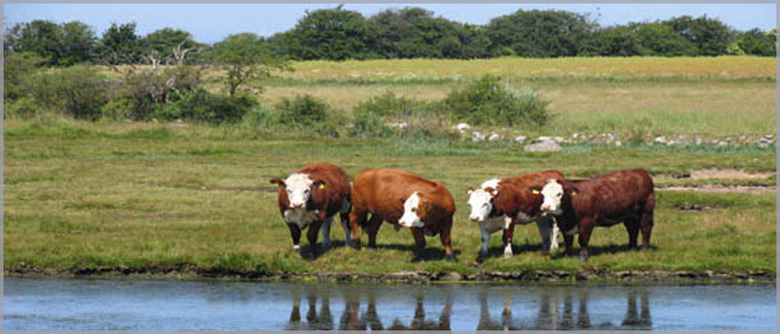 Image of four cows at the edge of a lake to symbolize our involvement with food and water safety.