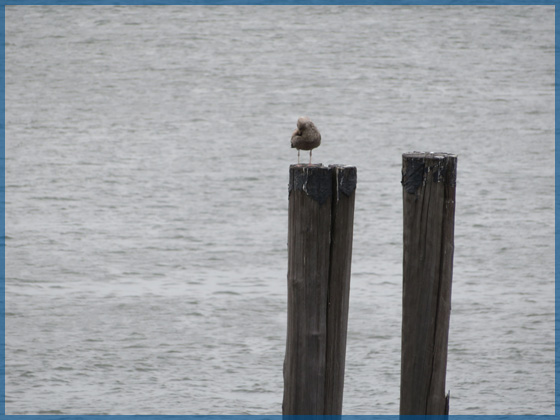 Seagull sitting on one of 2 wooden posts over the water for the April 2018 newsletter.